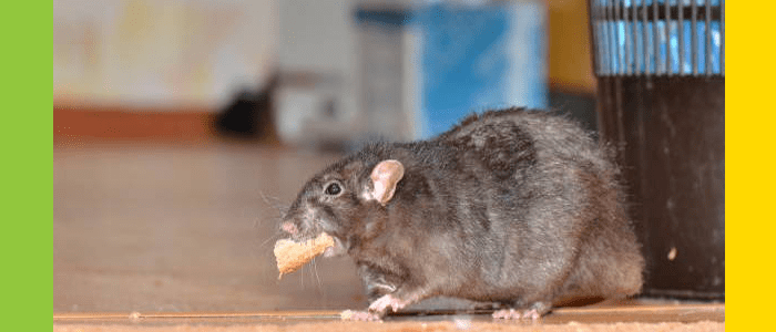 Rodent Control Windsor