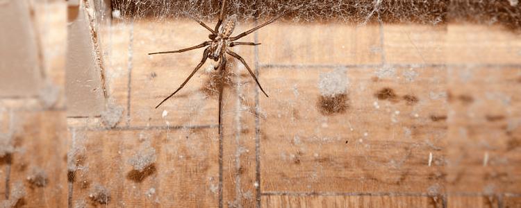 Spider Control Windsor